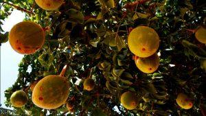 pulpe-du-fruit-du-baobab_w728_h410_r4_q70