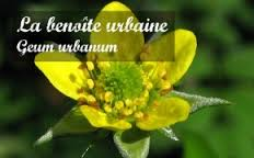 la-benoi%cc%82te-urbaine-plante-de-la-digestion-et-de-la-cicatrisation