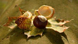 chestnut-1703576_1920-1